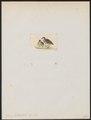 Turnix hottentota - 1820-1863 - Print - Iconographia Zoologica - Special Collections University of Amsterdam - UBA01 IZ17100151.tif