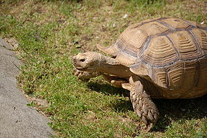 Turtle - African spurred tortoise