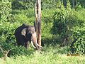 Tusker in the wild.jpg