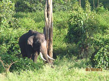 Tusker in the wild.jpg