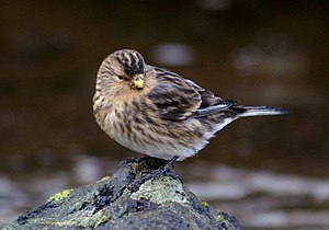Twite (Carduelis flavirostris) A declining res...