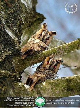 Two owls on a branch in Ukraine.jpg