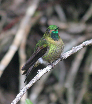 Tyrian metaltail - Tyrian metaltail in NW Ecuador