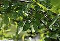 Ulmus parvifolia Emer II 5zz.jpg