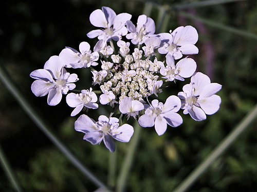 Umbel of ground elder.jpg