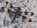 Unidentified Brown Striped Dragonfly.JPG