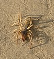 Unidentified solifugae, Umaria district, MP, India.jpg