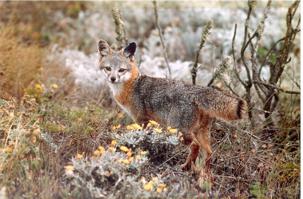 The average adult size of a Island fox is  (1' 7