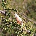 Utetheisa ornatrix (Erebidae).jpg