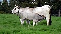 Vache gasconne00.jpg