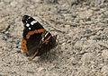 Vanessa atalanta - Atalanta butterfly.jpg