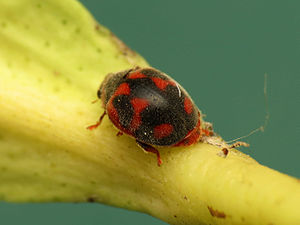Biological pest control - Rodolia cardinalis, the vedalia beetle, was imported from Australia to California in the 19th century, successfully controlling cottony cushion scale.