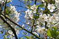 Veddum Kirsebær i blomst 02.JPG