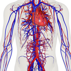 circulatory system - wikipedia, Human Body