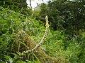 Verbascum thapsus (7787073788).jpg