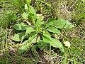 Verbascum virgatum plant5 (16377954922).jpg