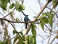 Verditer Flycatcher - Eumyias thalassinus DSC01333.jpg