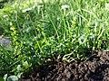 Veronica serpyllifolia subsp. serpyllifolia sl3.jpg