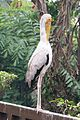 Very upright Painted Stork (24531514040).jpg