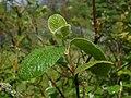 Viburnum cotinifolium 2017-05-31 1543.jpg