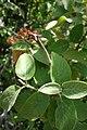 Viburnum lantana, familija Sambucaceae 03.jpg