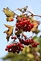 Viburnum opulus subsp. calvescens (fruit).jpg