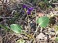 Viola ambigua sl69.jpg