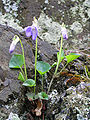 Viola riviniana3.jpg
