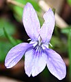 Violet Flower - geograph.org.uk - 724633.jpg