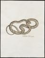 Vipera berus - 1700-1880 - Print - Iconographia Zoologica - Special Collections University of Amsterdam - UBA01 IZ11700163.tif