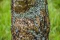 Vitex agnus-castus in Hackfalls Arboretum (1).jpg