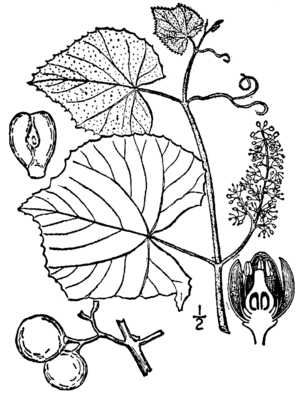 Vitis labrusca - Botanical features of Vitis labrusca.