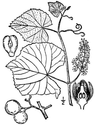 Ampelography - Vitis labrusca