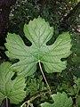 Vitis vinifera subsp. sylvestris sl13.jpg
