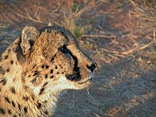 Watchful Cheetah.jpg