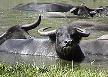 Water buffalo - Wikipedia