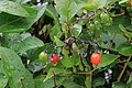 Water droplets on Solanum dulcamara berries.jpg