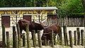 Watusi cattle in Planckendael Zoo, Belgium 01.jpg