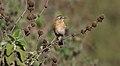 Whinchat (Saxicola rubetra) (32705649718).jpg