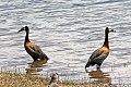 White-faced Whistling-Duck (Dendrocygna viduata) (8077589623).jpg