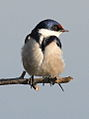 White-throated Swallow, Hirundo albigularis at Marievale Nature Reserve, Gauteng, South Africa (9703359336).jpg