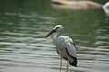 White Queen waiting- Bird from Indian Heritage from Protected place Rangantittu.jpg