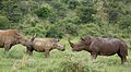 White rhinoceros or square-lipped rhinoceros, Ceratotherium simum. Note that in some of these photos there are a female with a calf, and a male that seems to have been challenging the calf. (17152267550).jpg