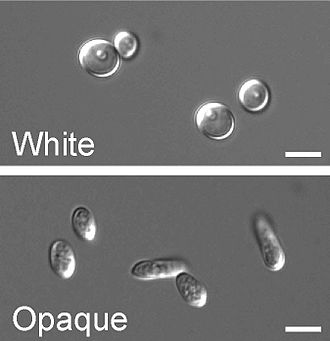 Candida albicans - Round, white-phase and elongated, opaque-phase Candida albicans cells: the scale bar is 5 µm