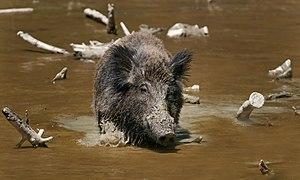 Wild Boar Habbitat 2.jpg