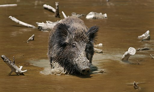 Wild Boar Habbitat 2