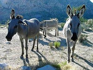 wild burros.
