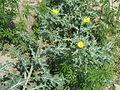 Wild yellow flower.JPG