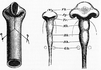 Recapitulation theory - Drawing by Wilhelm His of chick brain compared to folded rubber tube, 1874. Ag (Anlage) = Optic lobes, matching bulges in rubber tube.