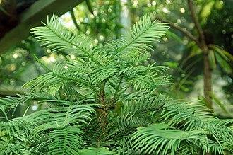 Araucariaceae - Wollemia nobilis